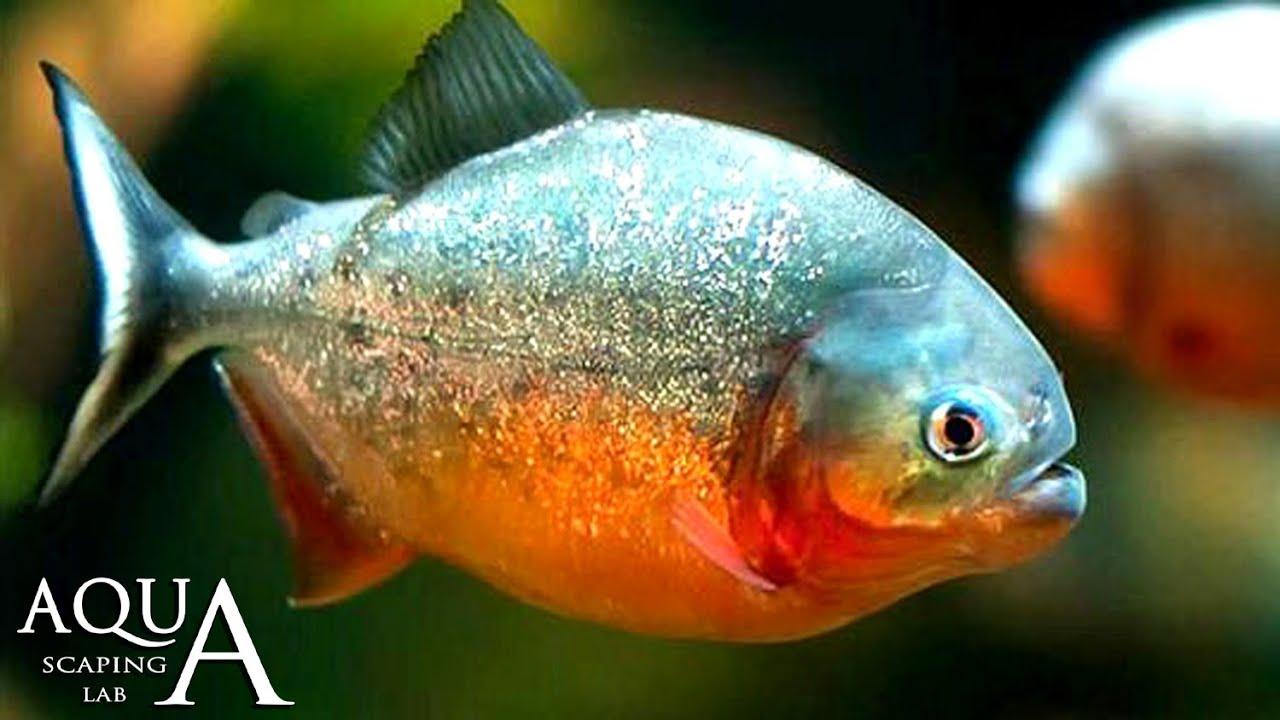 Aquascaping Lab   Piranha Pygocentrus Caribe Description/ Piraña  Serrasalminae Nattereri Descrizione   YouTube