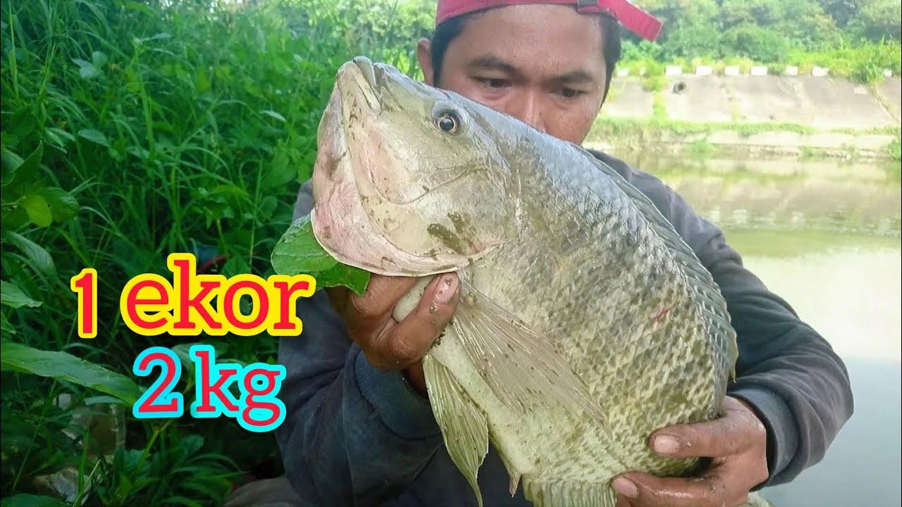 Download Trik Umpan khusus dapat Nila Besar susah makan Mancing Nila Babon