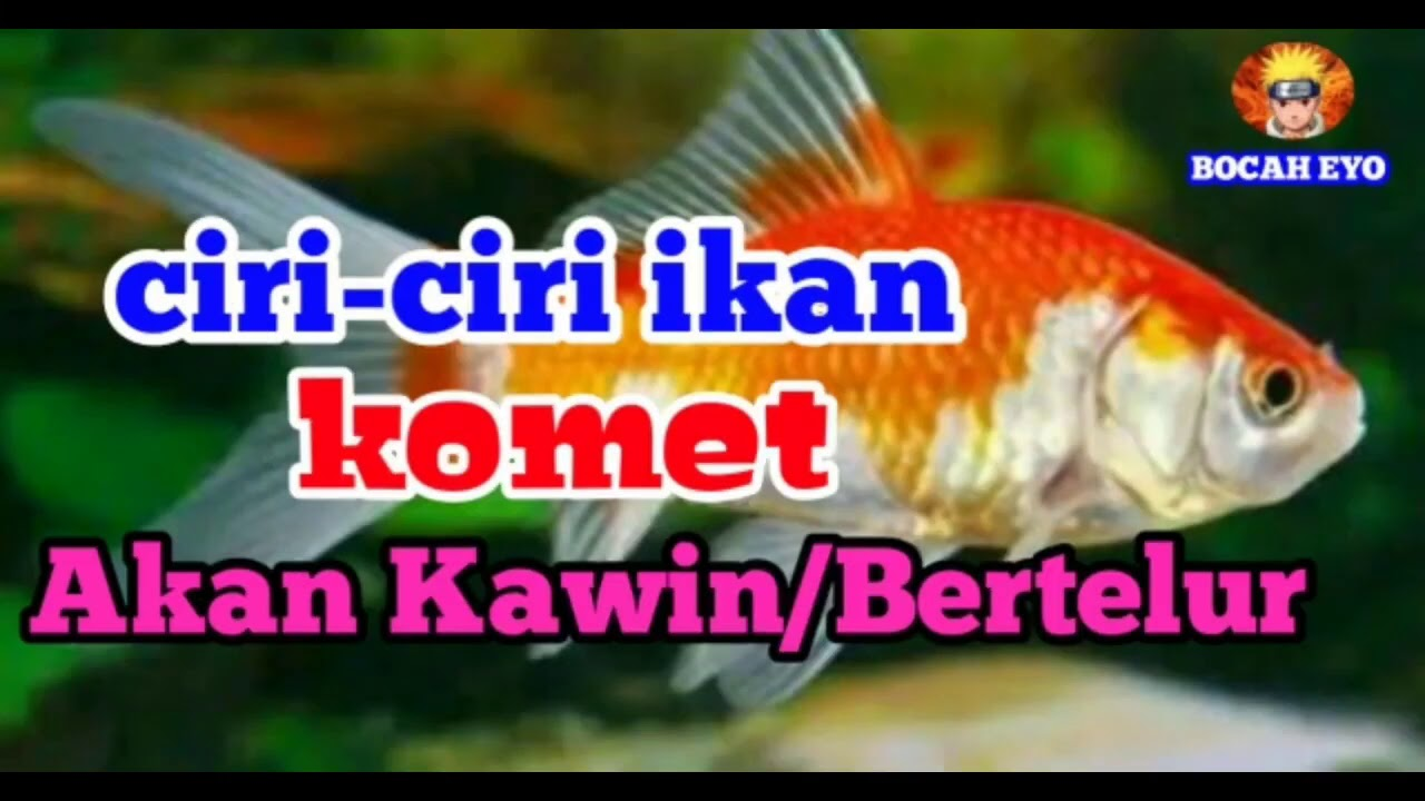 Ciri Ciri Ikan Komet Akan Hamil Bertelur Youtube