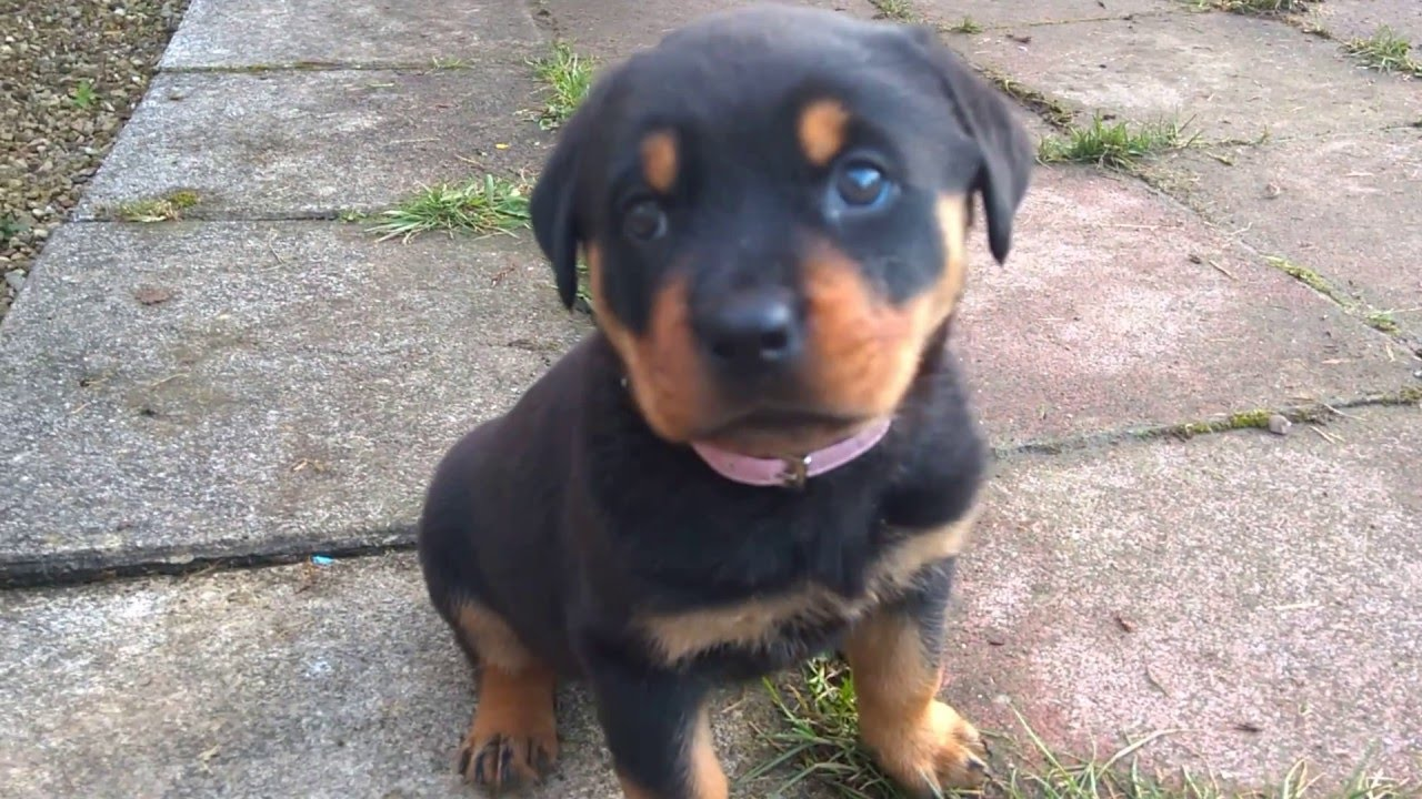 rottweiler dog mean. what a mean rottweiler puppy! dog