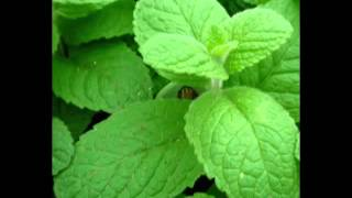 Apple Mint Herb Health Benefits