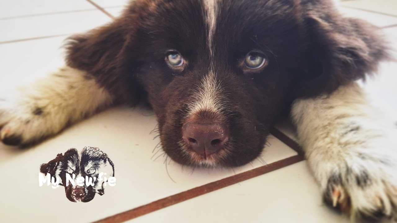 A Day With My New Landseer Newfoundland Puppy Saxa Youtube