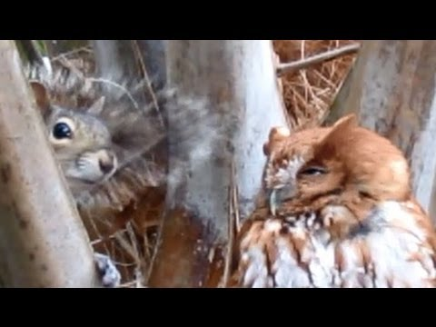 Transformer Owl Attacks Annoying Squirrel