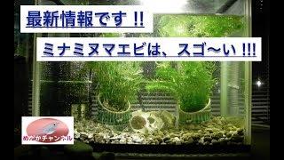 ミナミヌマエビが、微生物を食べている捕食映像です。 !! 必見です !! ...