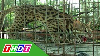 THDT - Đồng Tháp thả mèo rừng về tự nhiên