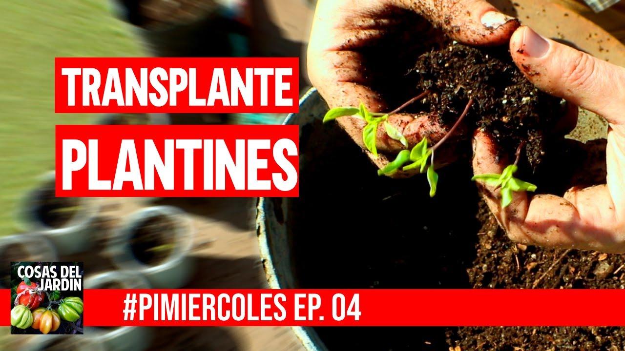 Cuándo transplantas tus Pimientos y tus Chiles? #PIMIERCOLES Episodio 4