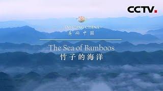 《美丽中国》 竹子的海洋   CCTV