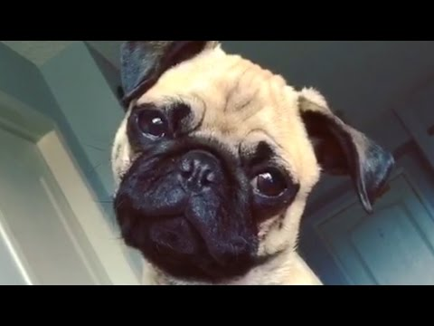 Pugs Are Awesome Part 2: Compilation