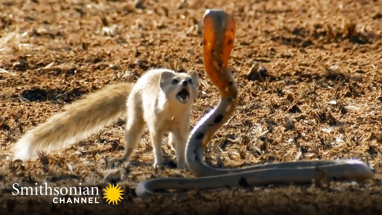 Download 10 Craziest Animal Fights in the Animal Kingdom 🐍 Lions, Hippos, Cobras! | Smithsonian Channel