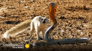 10 Craziest Animal Fights in the Animal Kingdom 🐍 Lions, Hippos, Cobras! | Smithsonian Channel
