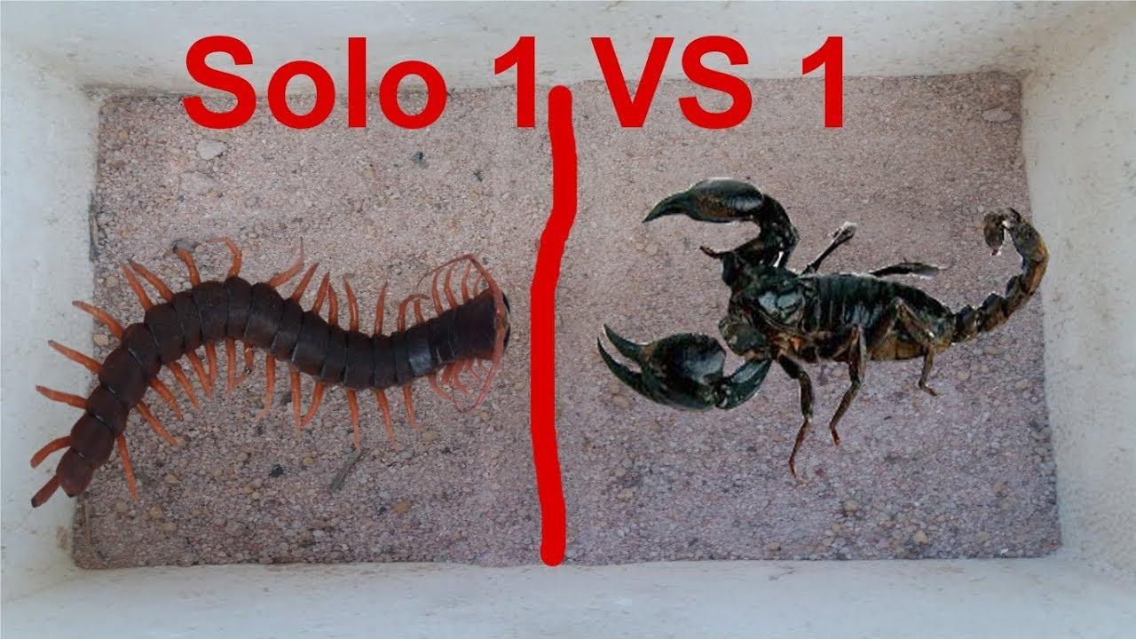 Bắt RẾT CHÚA Cho Vào Tổ BỌ CẠP CHÚA .RẾT CHÚA Thách Đấu BỌ CẠP .SOLO 1 VS 1 .Centipede Vs Scorpion
