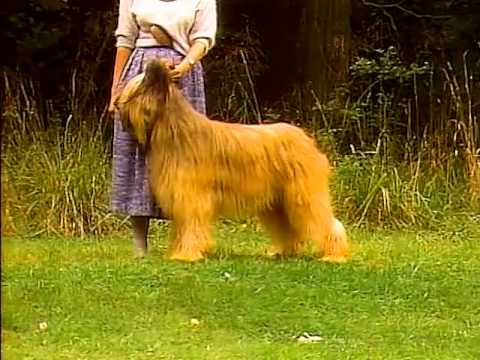 Briard - AKC Dog Breed Series