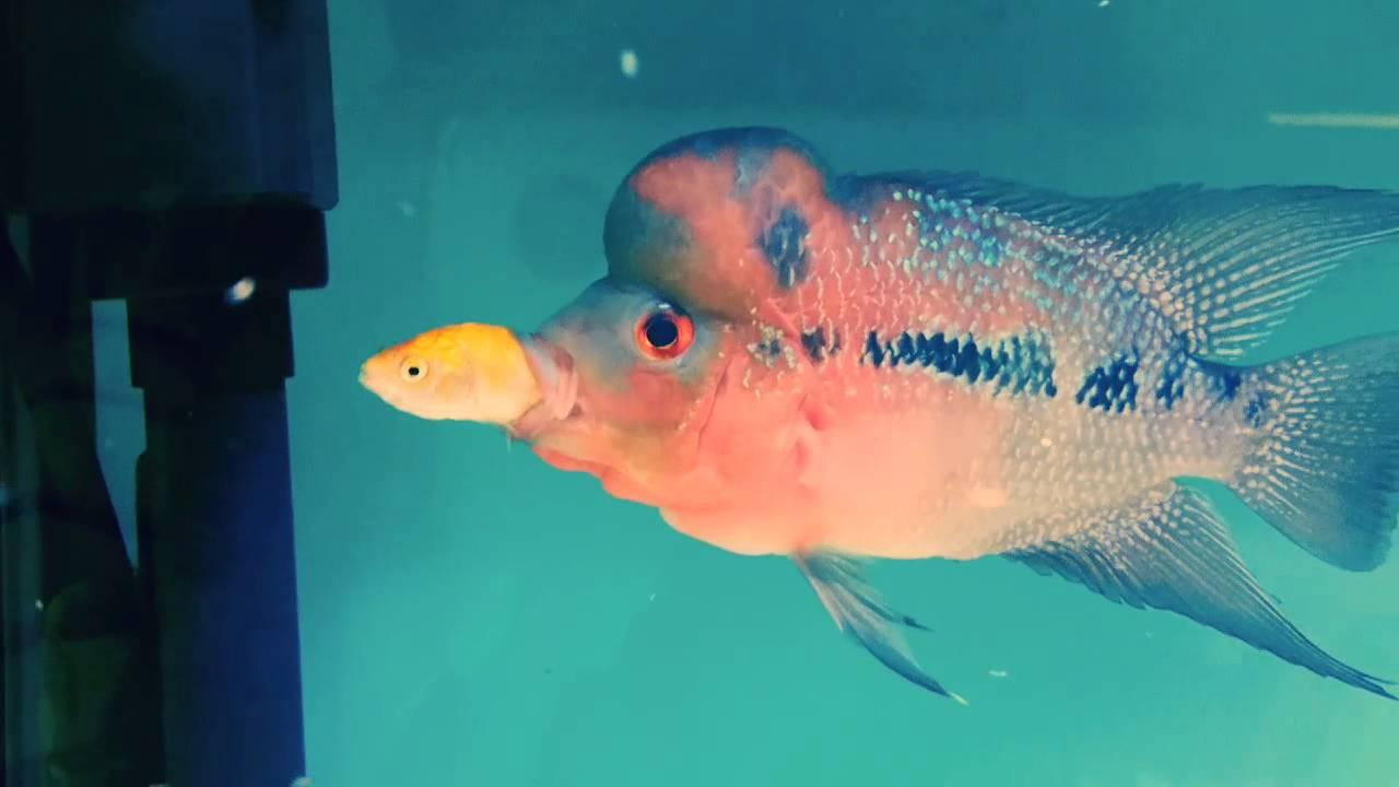Flowerhorn feeding gold fish