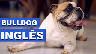 Bulldog Inglês - Quatro Patas