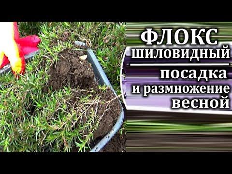 Флокс шиловидный посадка и размножение весной