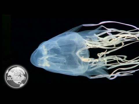 BOX Jellyfish - The Most Dangerous Sea Creature