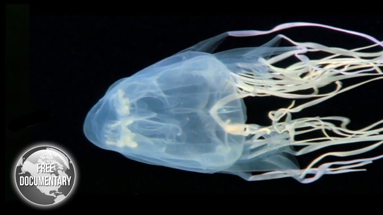 BOX Jellyfish - The Most Dangerous Sea Creature - YouTube