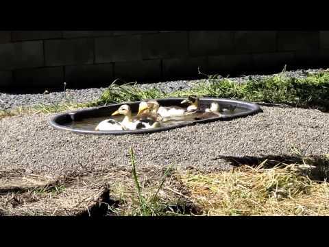 Ancona ducks taking a swim