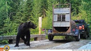 Video shows release of 2 captured Montana grizzly bears