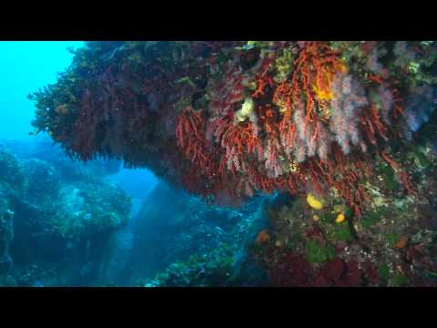 hqdefault - Corail rouge, gorgones (octocoralliaires)