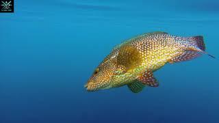 Beautiful Ballan Wrasse - Herm Island Fishing
