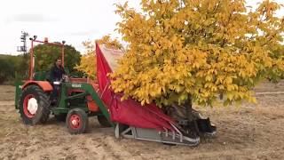 Ceviz Çırpma/Toplama Makinası- WAlnut Harvest in Turkey
