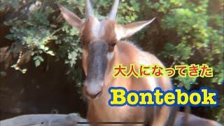 ボンテボク bontebok サンディエゴ動物園