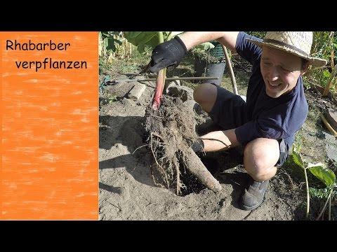 Super Rhabarber verpflanzen und teilen | VLOG | Tagebuch eines Gärtners @SS_49