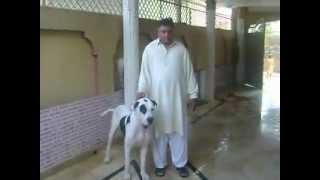 pakistan bull dog choudary taleb from gujar khan bewal