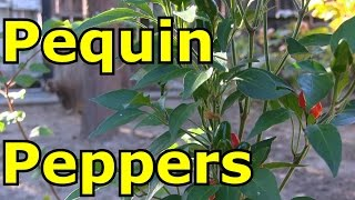 Growing Pequin / Piquin Peppers  - Excellent for Making Salsa