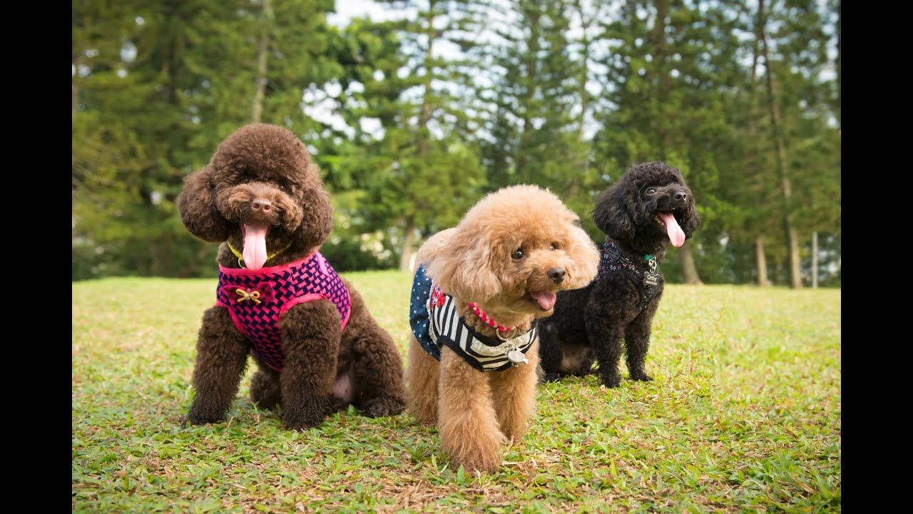 Toy Poodles Outdoor And Studio Session Singapore Pet Photography