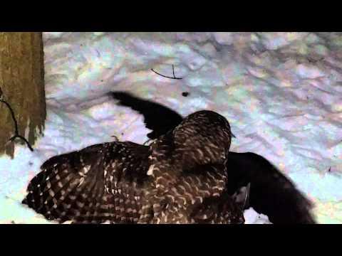 Owl Vs Crow In Norwich Ny