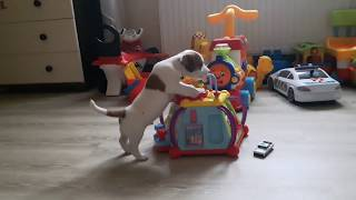 """Jack Russell Terrier: Miot """"W"""" - 32 dni"""
