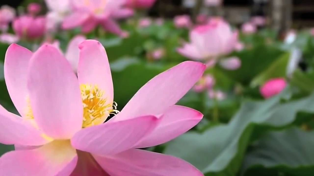 Beautiful lotus flowers with relaxing music hd youtube beautiful lotus flowers with relaxing music hd izmirmasajfo Images