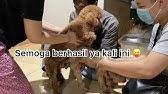 Cara Mengawinkan Anjing Pacak Mischa Alaskan Malamute Youtube
