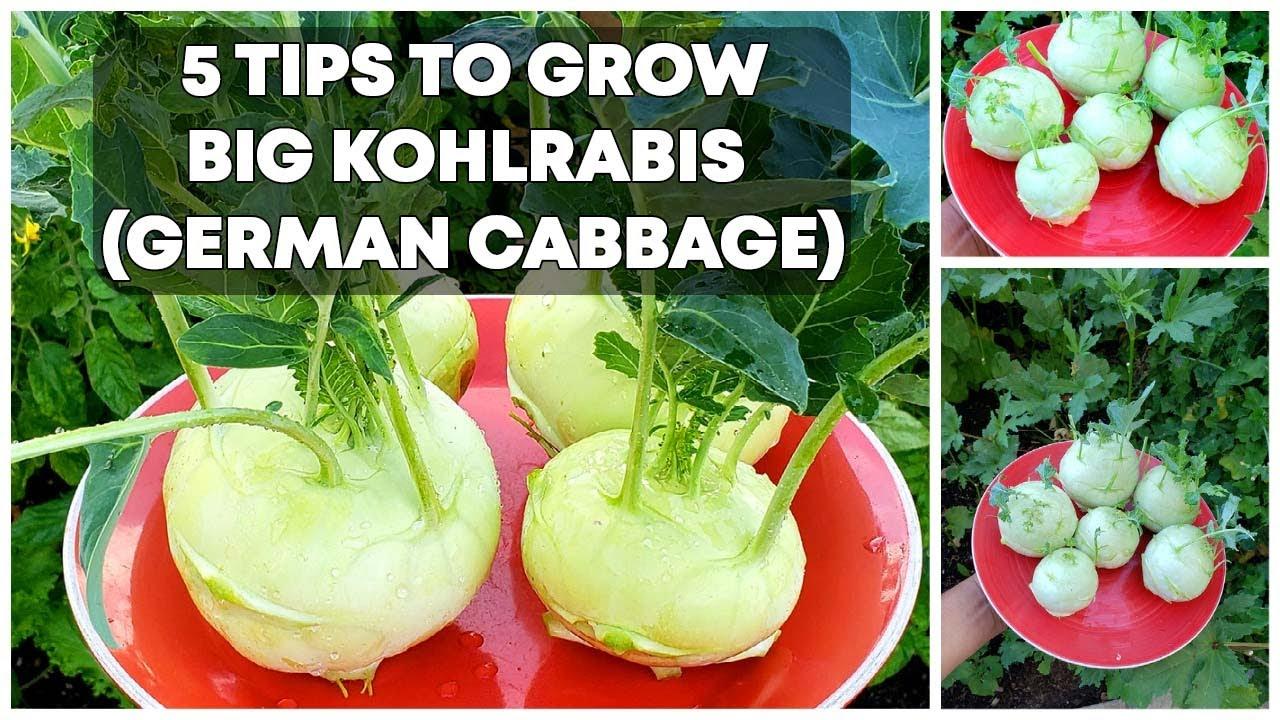 5 Tips To Grow BIG Kohlrabis (German Cabbage) - Kohlrabi Growing Tips!