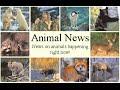 Animal News: Cat Sized Rat Rediscovered