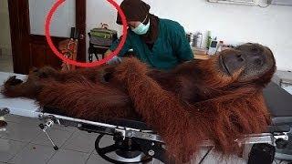 Orangutan Shot After Being Mistaken As Bigfoot In Sumatra