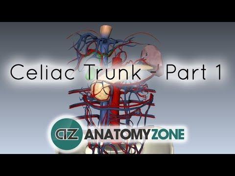 Celiac Artery/Trunk - Part 1 - Anatomy Tutorial
