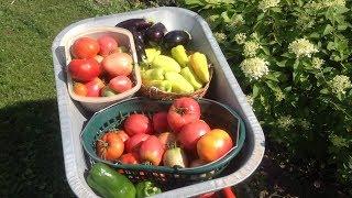 331.Большой урожай здоровых помидор