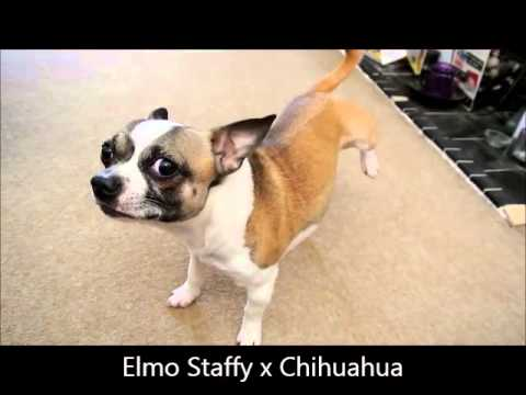 Elmo Staffy x Chihuahua – Funny Dog Trick 'Have You Got Flea's'