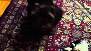 Yorkshire Terrier Puppy Training