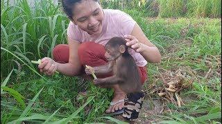 Baby Monkey | Funny Monkey Doo Eats Cow Grass