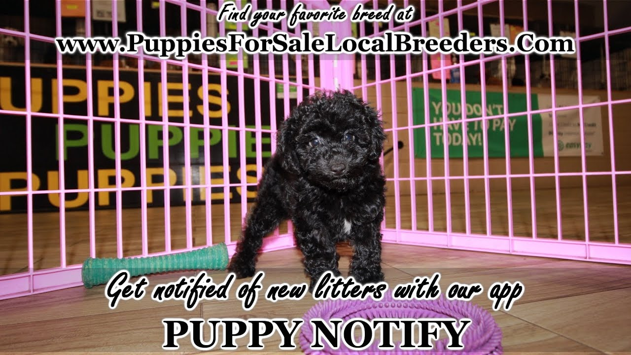 Black Toy Poodle Puppies For Sale Georgia Local Breeders
