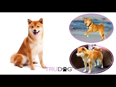 The Ultimate Guide To Caring For The Shiba Inu