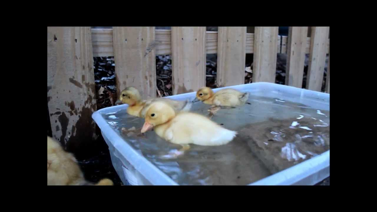 Appleyard Ducklings Playing and Swimming One Week Old - YouTube