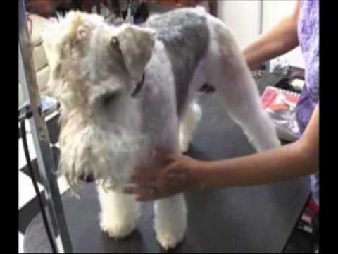 Wire Fox Terrier Grooming, www.OnlineGroomingSchool.com