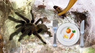 Preparing healthy FOOD for my TARANTULAS !!! (feat. Elvarg)