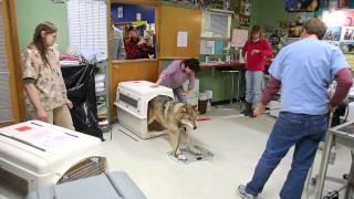 IFAW Alaska Wolf-Dog Rescue