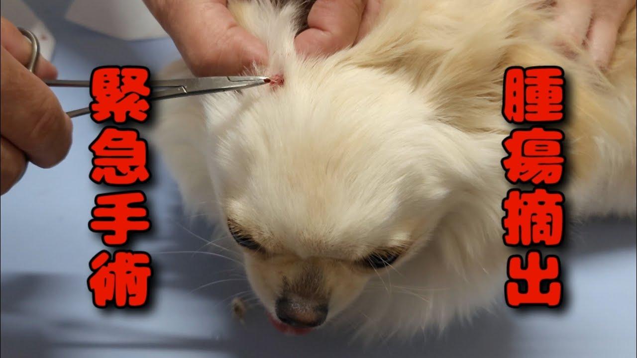 【回覧注意】緊急手術【保護犬】子犬の腫瘍摘出…ずっと待っていた…?!